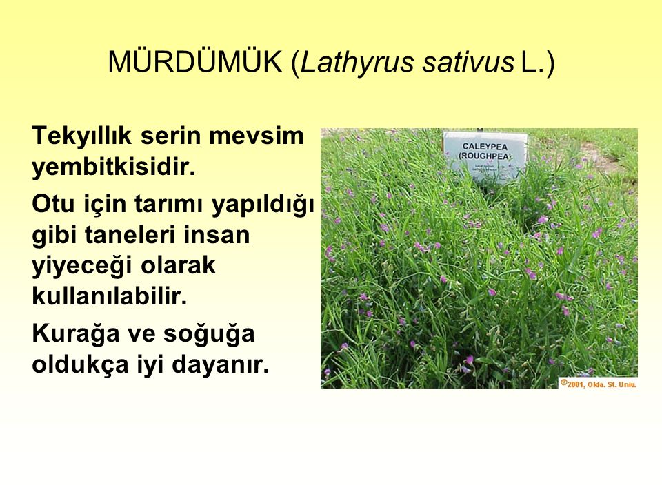 MÜRDÜMÜK (Lathyrus sativus L.)