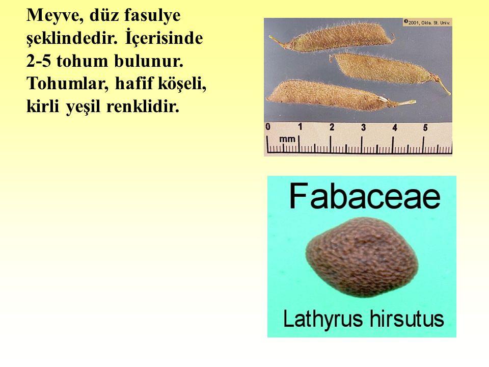 Meyve, düz fasulye şeklindedir. İçerisinde 2-5 tohum bulunur