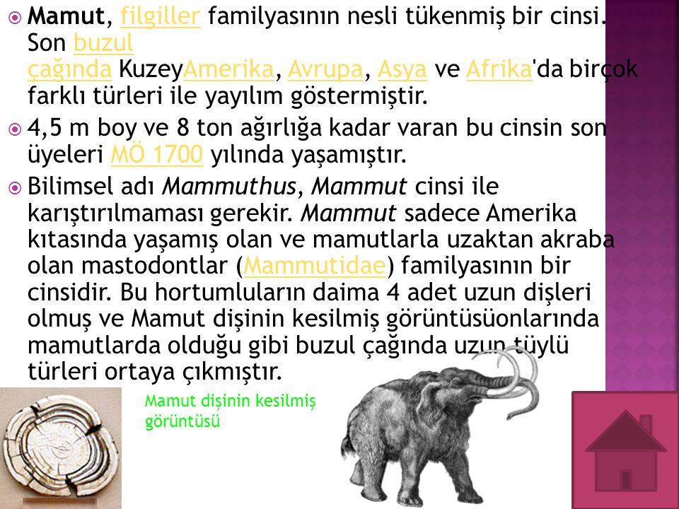 Mamut, filgiller familyasının nesli tükenmiş bir cinsi