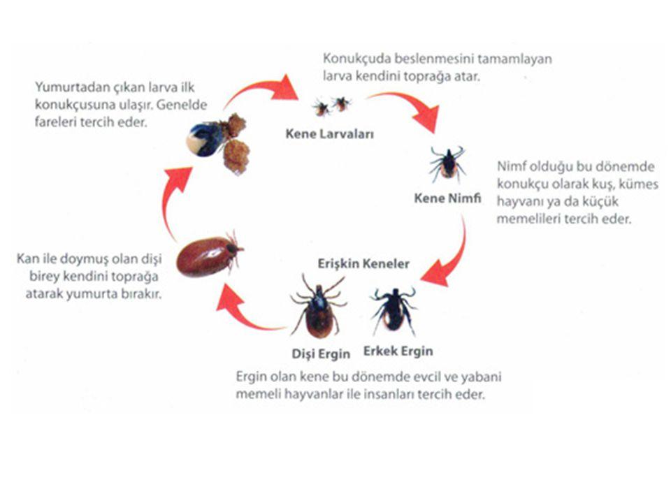 Keneler zorunlu kan emici ektoparazitlerdir.