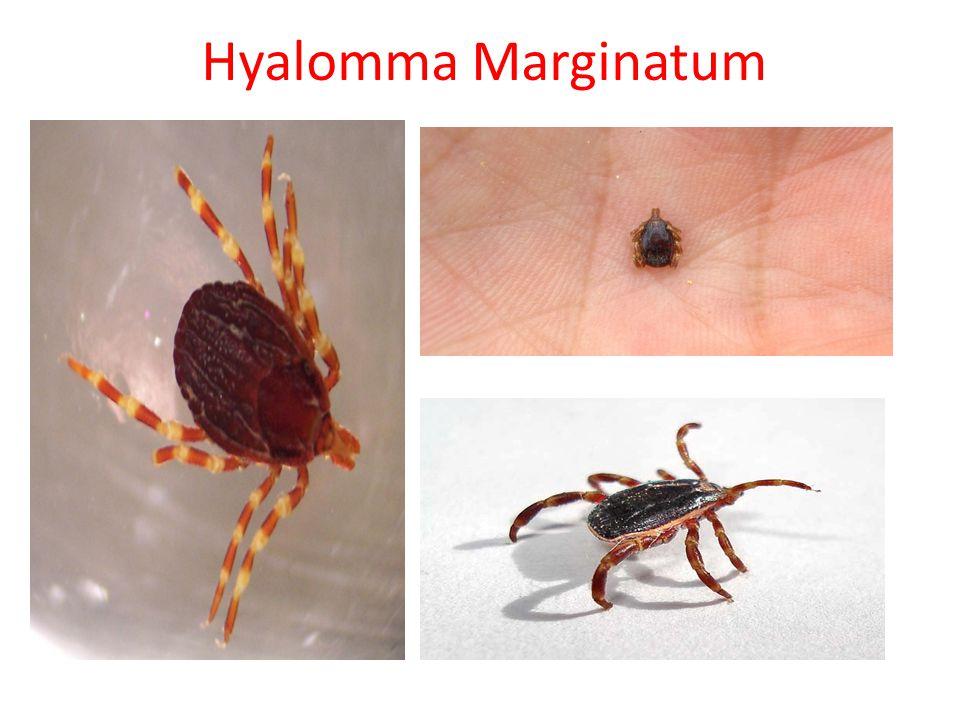 Hyalomma Marginatum