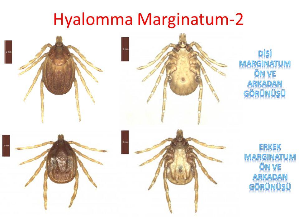 Hyalomma Marginatum-2 dİŞİ marginatum Ön ve arkadan görünüşü