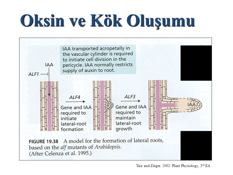 Oksin ve Kök Oluşumu Taiz and Zeiger. 2002. Plant Physiology, 3rd Ed.