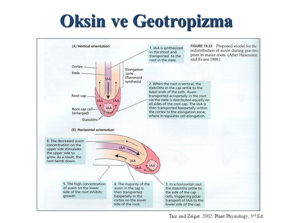 Oksin ve Geotropizma Taiz and Zeiger. 2002. Plant Physiology, 3rd Ed.