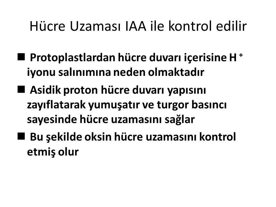 Hücre Uzaması IAA ile kontrol edilir