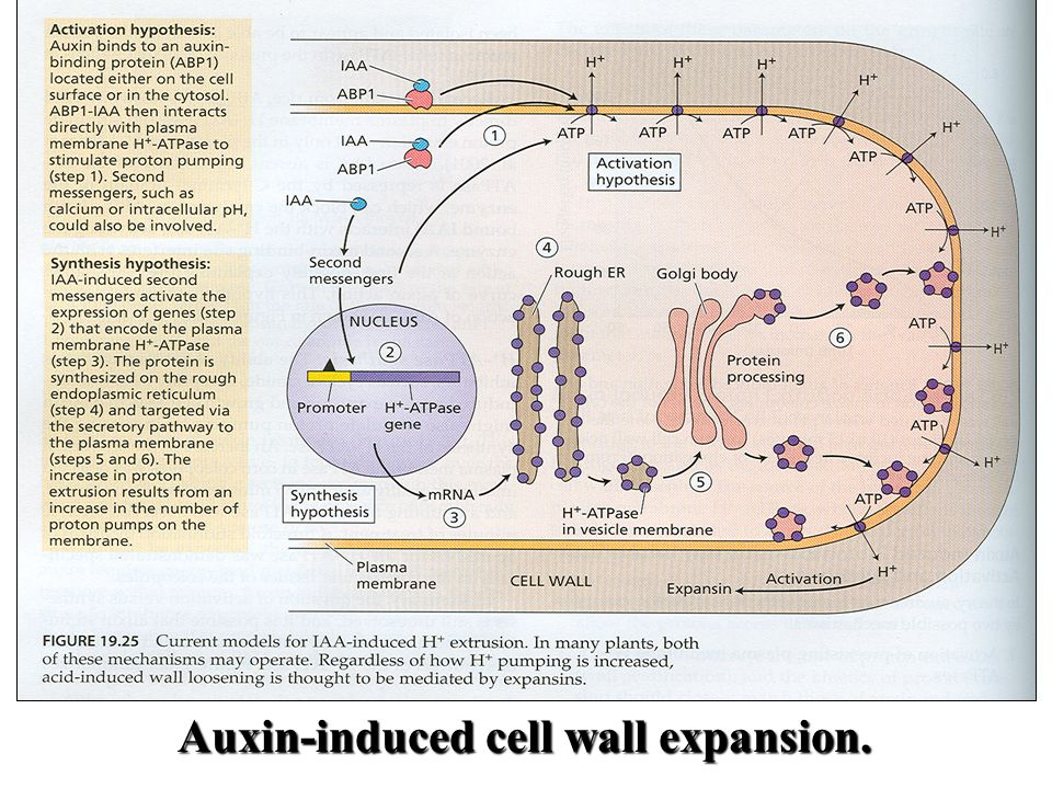 Auxin-induced cell wall expansion.
