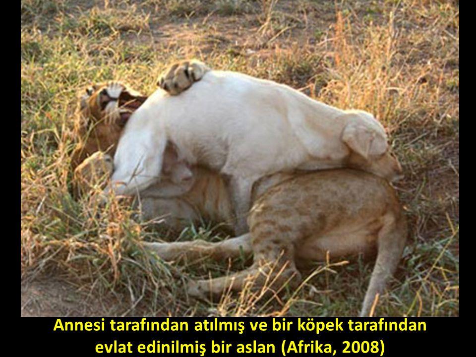 Annesi tarafından atılmış ve bir köpek tarafından evlat edinilmiş bir aslan (Afrika, 2008)