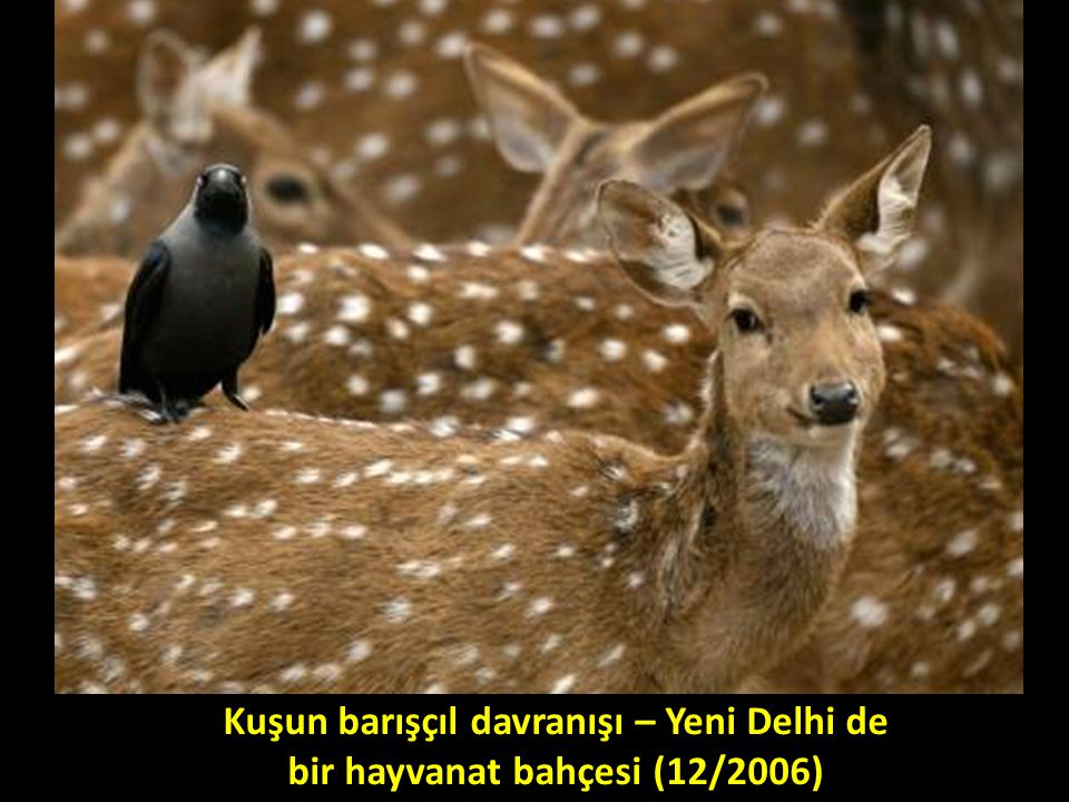 Kuşun barışçıl davranışı – Yeni Delhi de bir hayvanat bahçesi (12/2006)