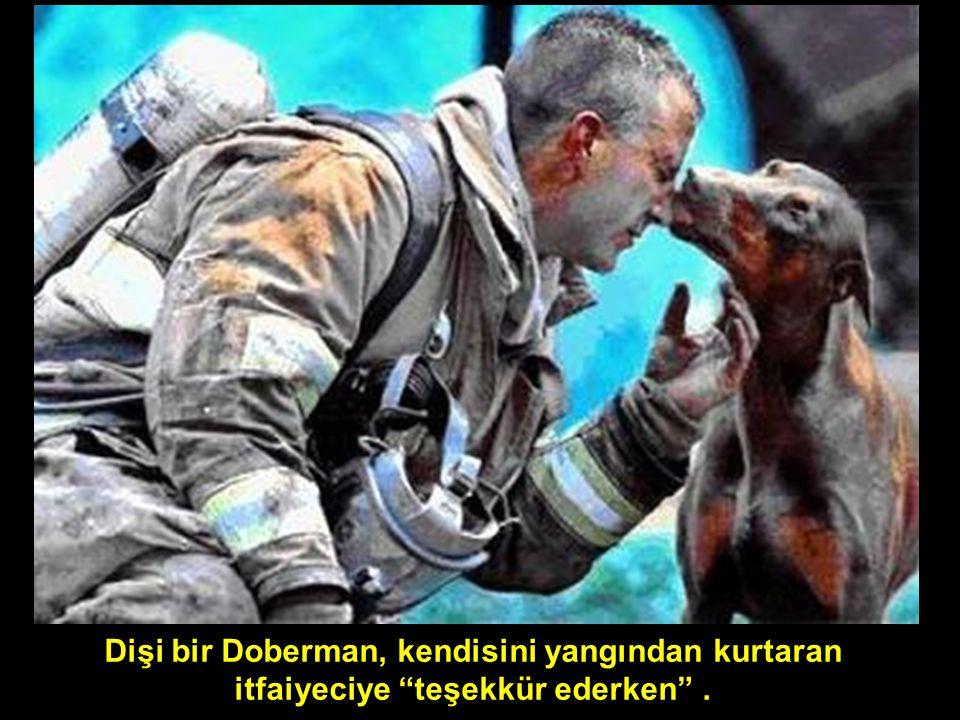 Dişi bir Doberman, kendisini yangından kurtaran itfaiyeciye teşekkür ederken .