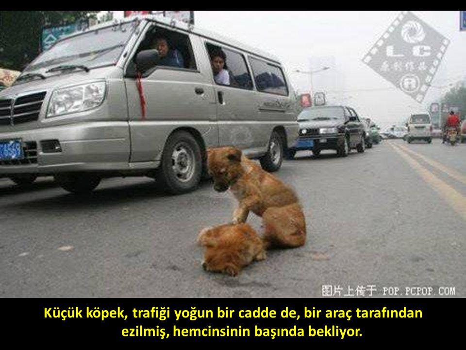 Küçük köpek, trafiği yoğun bir cadde de, bir araç tarafından ezilmiş, hemcinsinin başında bekliyor.