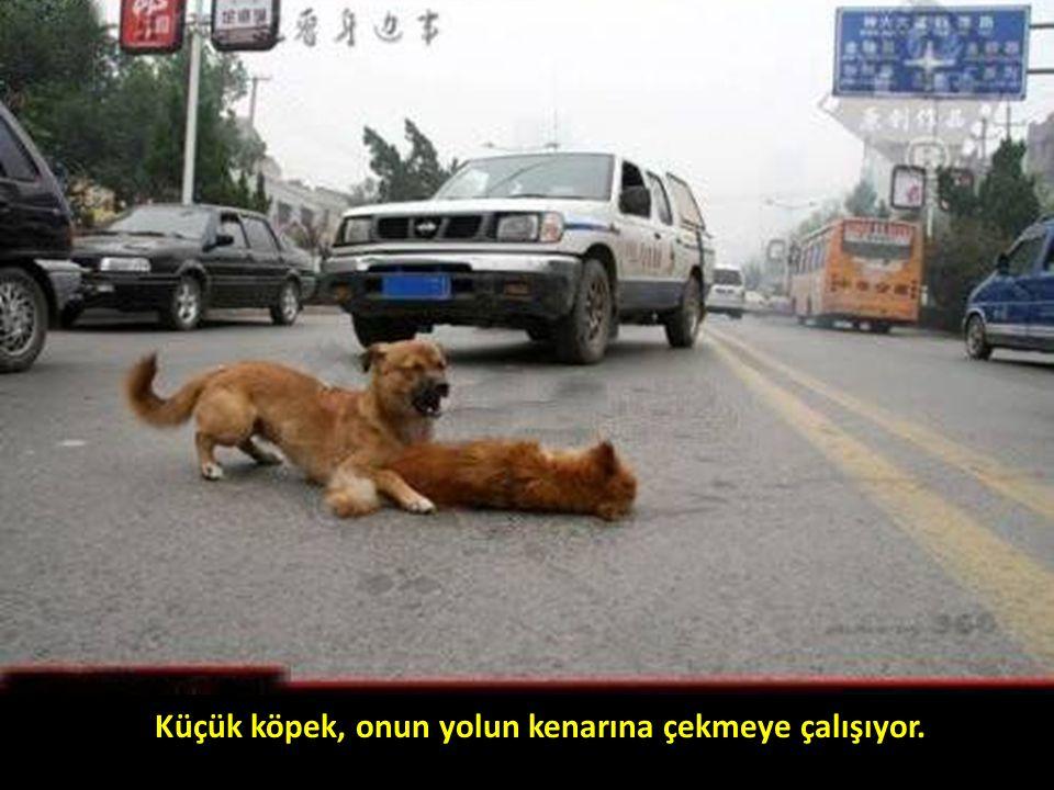 Küçük köpek, onun yolun kenarına çekmeye çalışıyor.