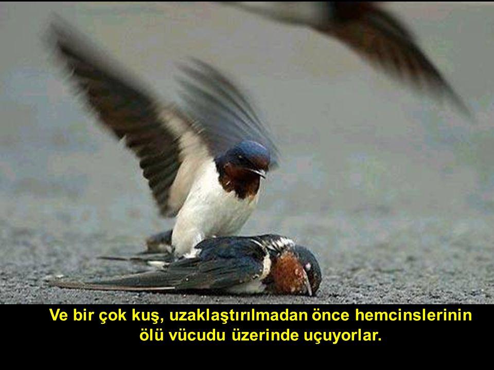 Ve bir çok kuş, uzaklaştırılmadan önce hemcinslerinin ölü vücudu üzerinde uçuyorlar.