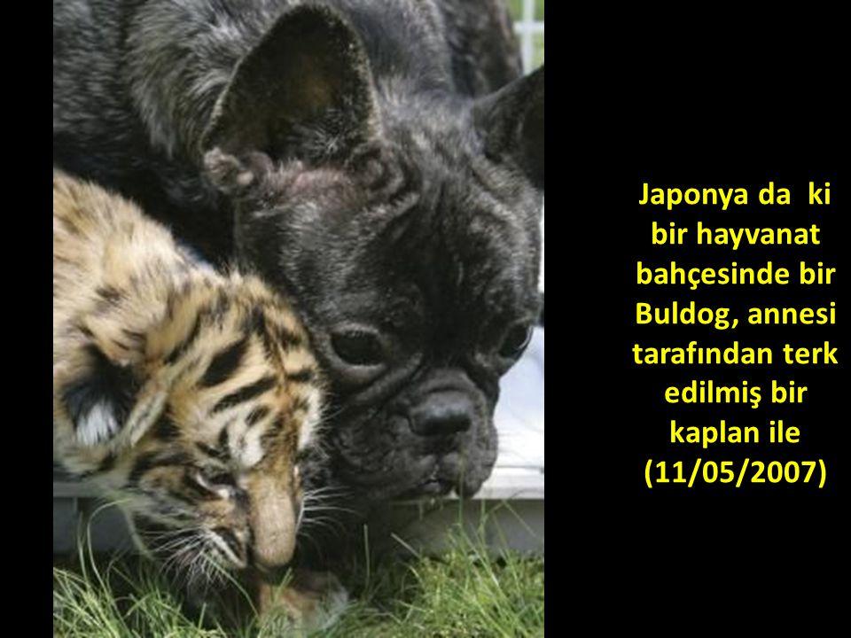 Japonya da ki bir hayvanat bahçesinde bir Buldog, annesi tarafından terk edilmiş bir kaplan ile (11/05/2007)