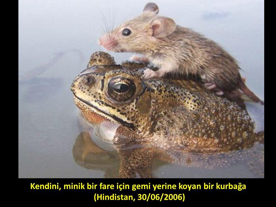 Kendini, minik bir fare için gemi yerine koyan bir kurbağa (Hindistan, 30/06/2006)