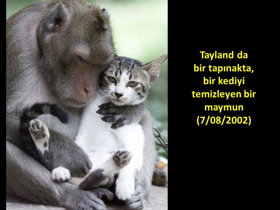 Tayland da bir tapınakta, bir kediyi temizleyen bir maymun (7/08/2002)