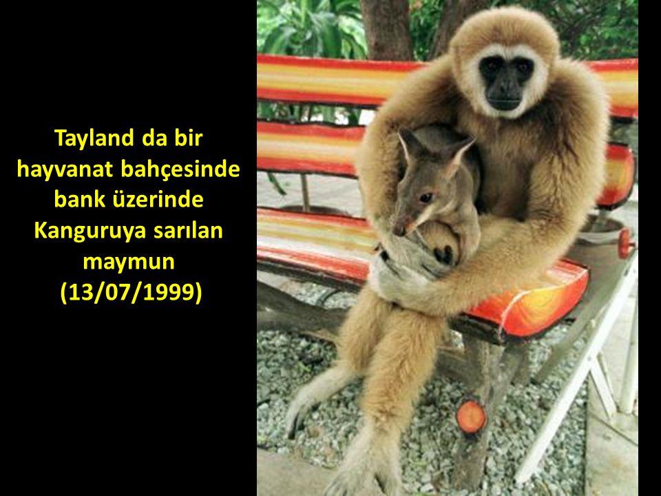 Tayland da bir hayvanat bahçesinde bank üzerinde Kanguruya sarılan maymun (13/07/1999)