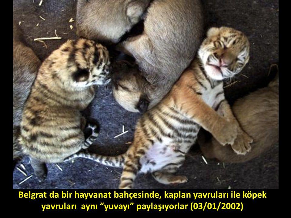 Belgrat da bir hayvanat bahçesinde, kaplan yavruları ile köpek yavruları aynı yuvayı paylaşıyorlar (03/01/2002)