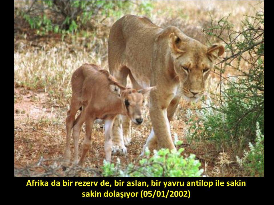 Afrika da bir rezerv de, bir aslan, bir yavru antilop ile sakin sakin dolaşıyor (05/01/2002)