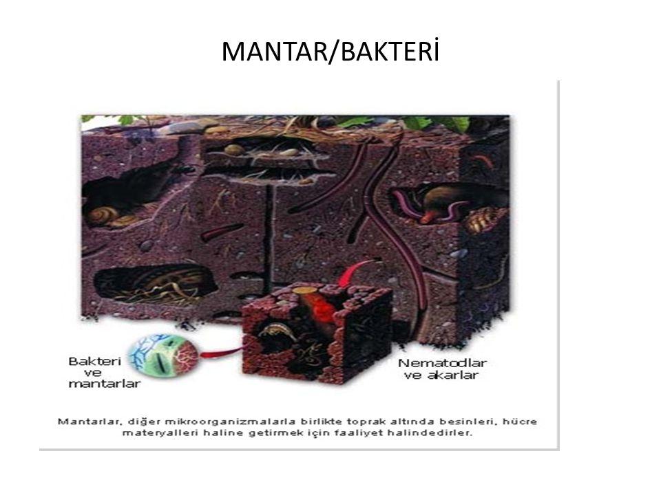 MANTAR/BAKTERİ