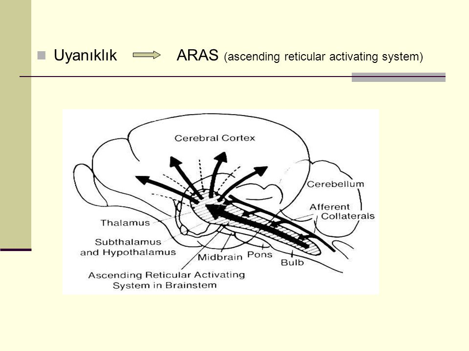 Uyanıklık ARAS (ascending reticular activating system)