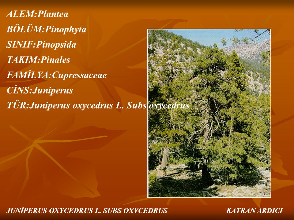 FAMİLYA:Cupressaceae CİNS:Juniperus