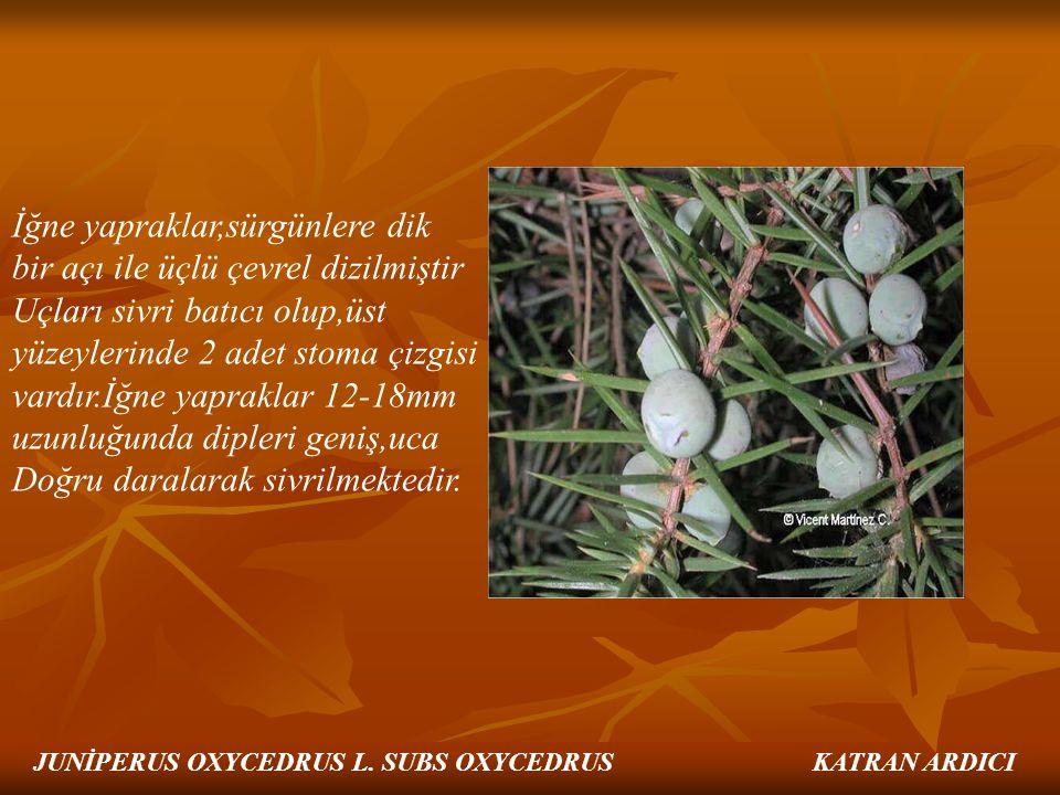İğne yapraklar,sürgünlere dik bir açı ile üçlü çevrel dizilmiştir