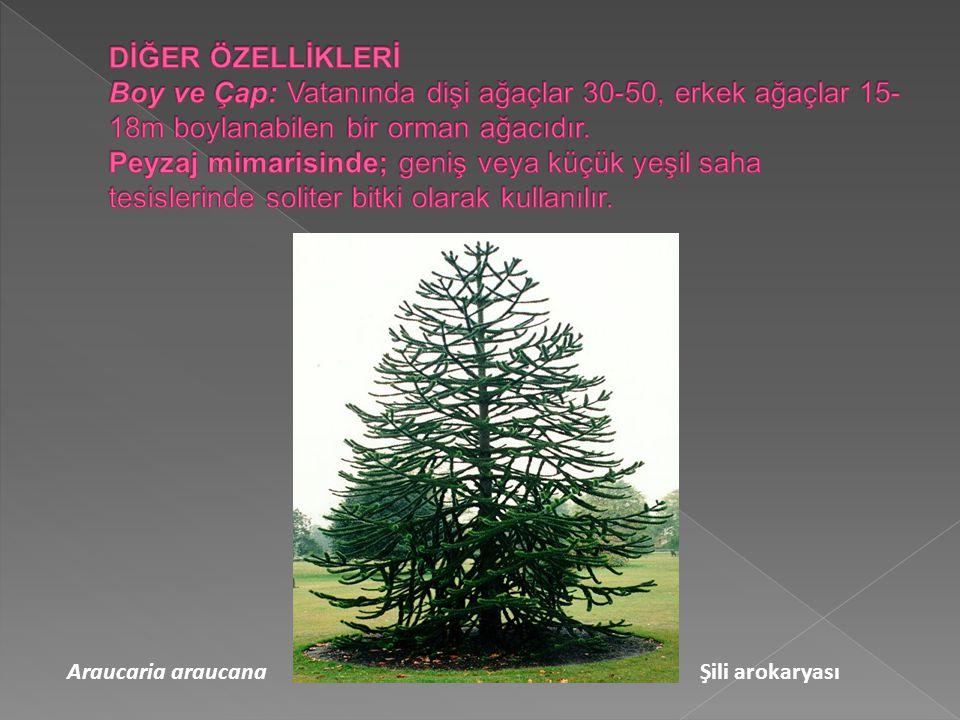 DİĞER ÖZELLİKLERİ Boy ve Çap: Vatanında dişi ağaçlar 30-50, erkek ağaçlar 15-18m boylanabilen bir orman ağacıdır. Peyzaj mimarisinde; geniş veya küçük yeşil saha tesislerinde soliter bitki olarak kullanılır.
