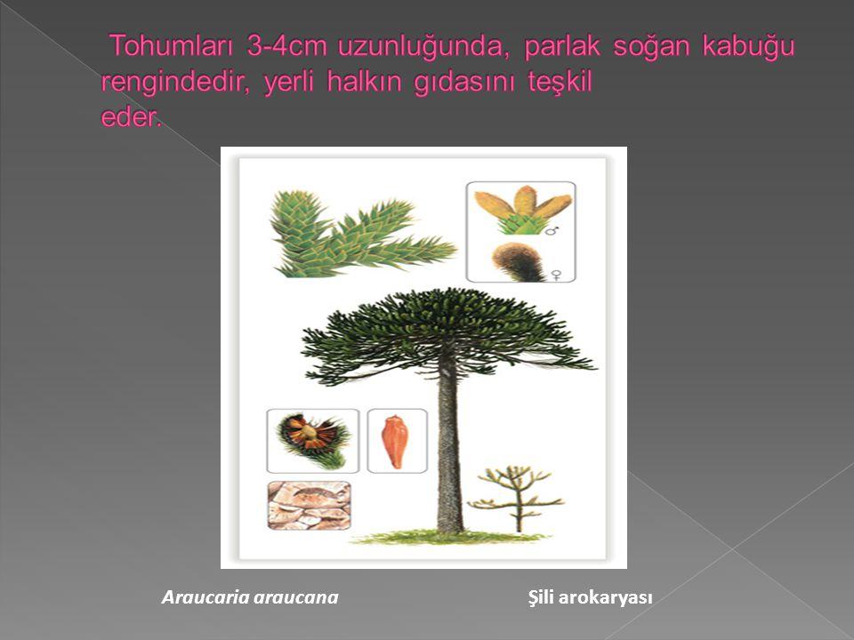 Tohumları 3-4cm uzunluğunda, parlak soğan kabuğu rengindedir, yerli halkın gıdasını teşkil eder.