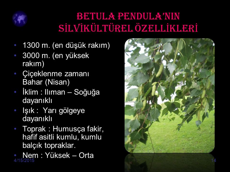 BETULA PENDULA'NIN SİLVİKÜLTÜREL ÖZELLİKLERİ