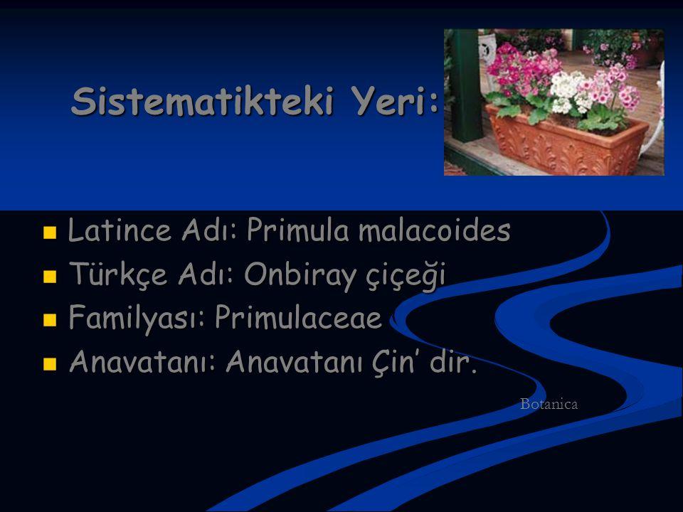 Sistematikteki Yeri: Latince Adı: Primula malacoides