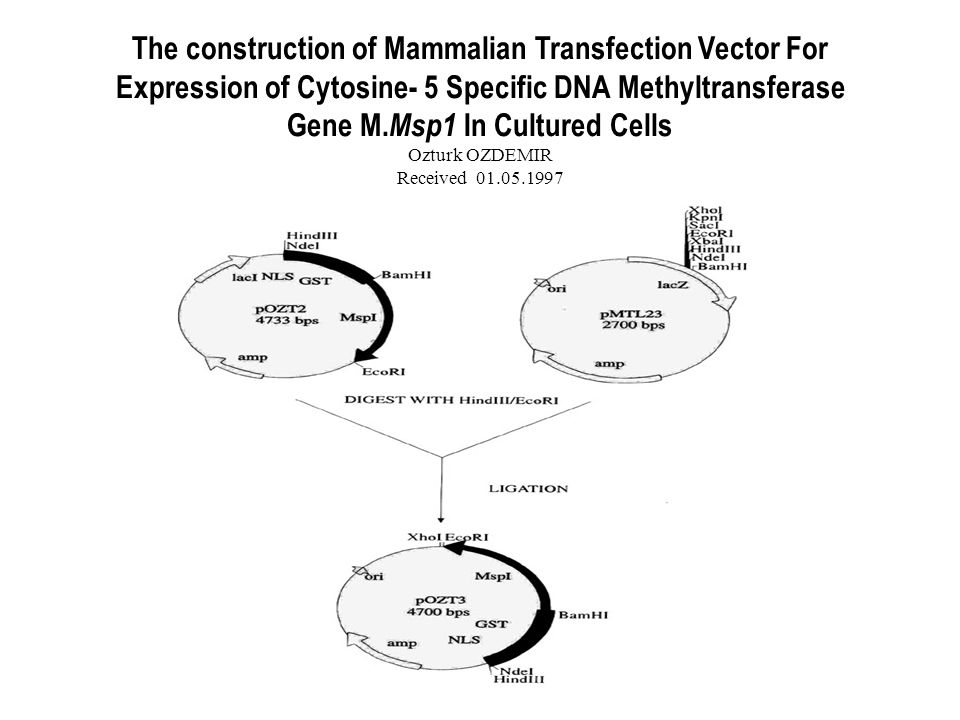 The construction of Mammalian Transfection Vector For Expression of Cytosine- 5 Specific DNA Methyltransferase Gene M.Msp1 In Cultured Cells Ozturk OZDEMIR Received 01.05.1997