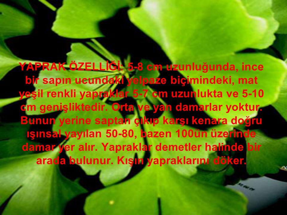 YAPRAK ÖZELLİĞİ: 5-8 cm uzunluğunda, ince bir sapın ucundaki yelpaze biçimindeki, mat yeşil renkli yapraklar 5-7 cm uzunlukta ve 5-10 cm genişliktedir.