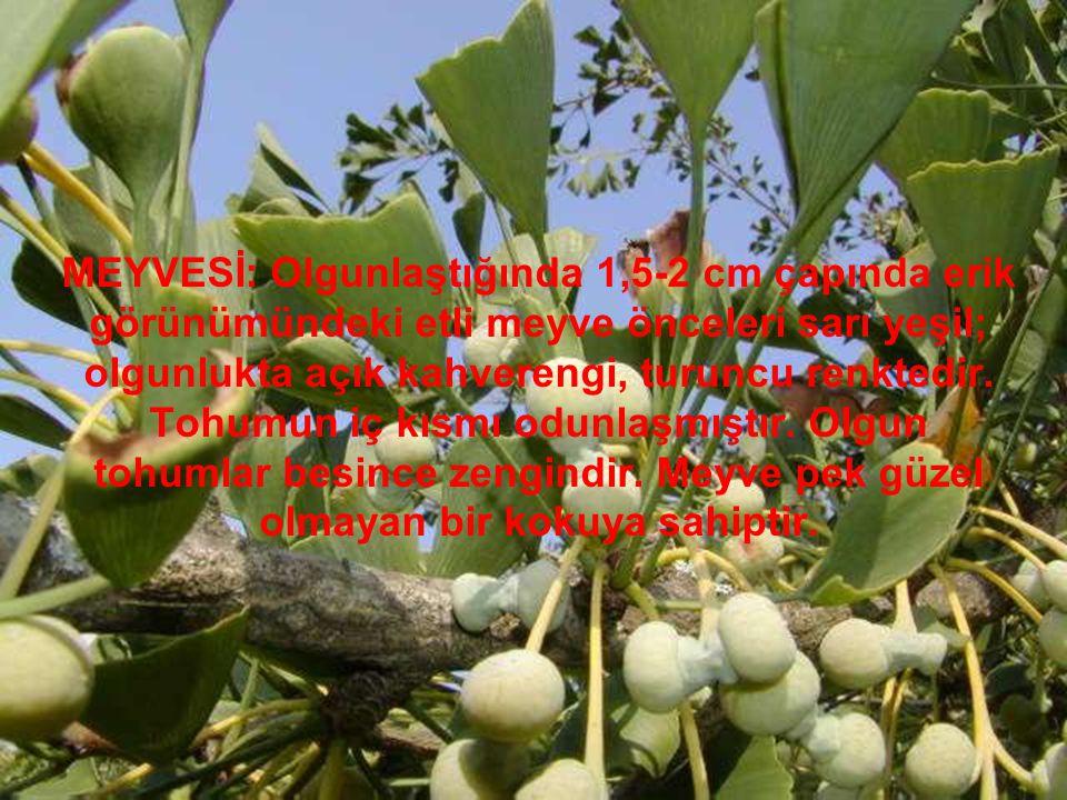 MEYVESİ: Olgunlaştığında 1,5-2 cm çapında erik görünümündeki etli meyve önceleri sarı yeşil; olgunlukta açık kahverengi, turuncu renktedir.