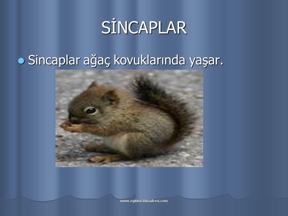 SİNCAPLAR Sincaplar ağaç kovuklarında yaşar. www.egitimcininadresi.com