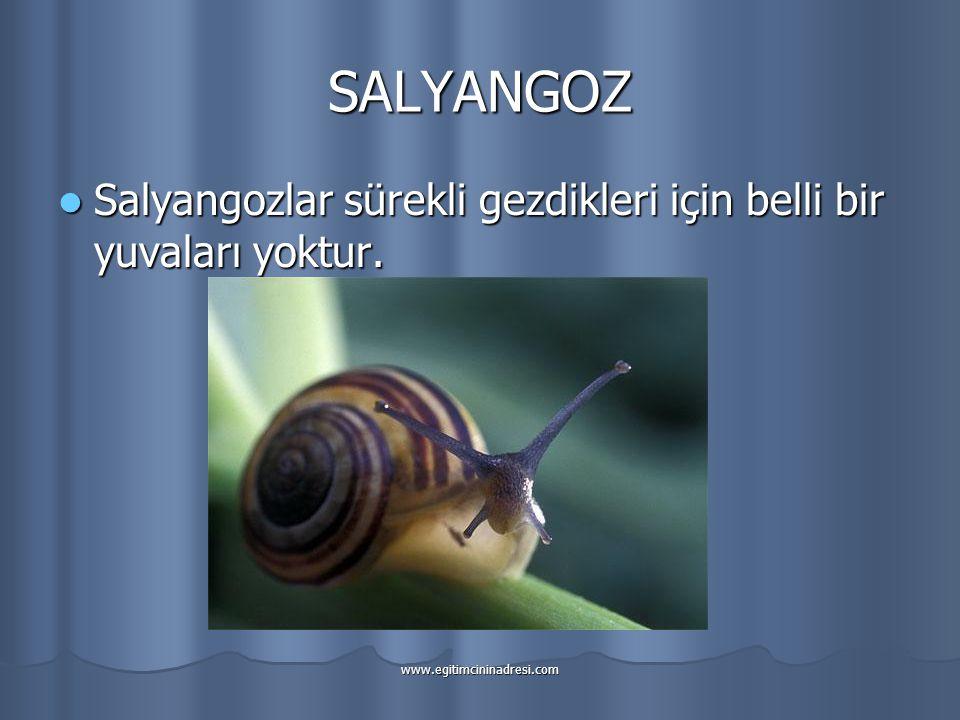 SALYANGOZ Salyangozlar sürekli gezdikleri için belli bir yuvaları yoktur. www.egitimcininadresi.com
