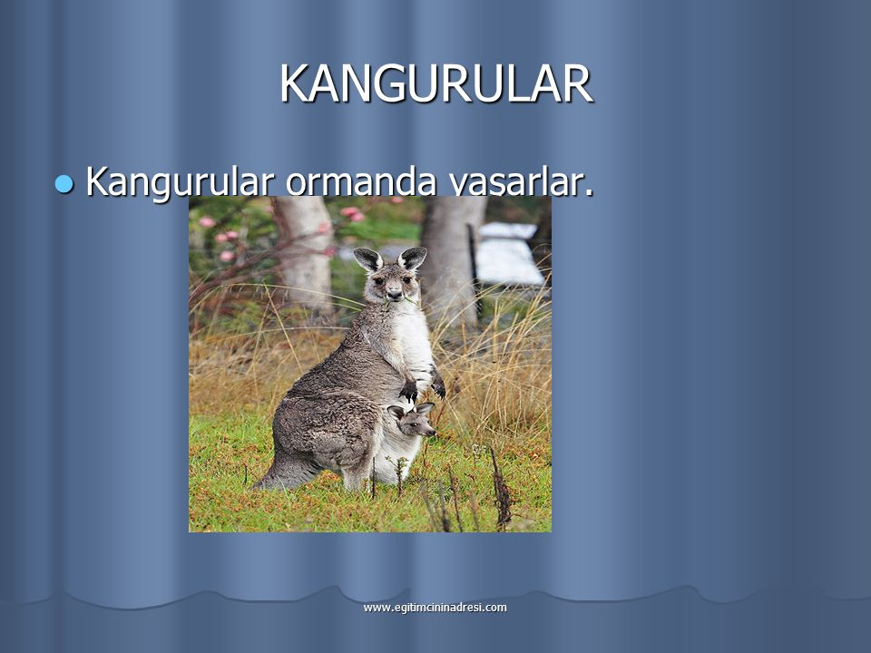 KANGURULAR Kangurular ormanda yaşarlar. www.egitimcininadresi.com