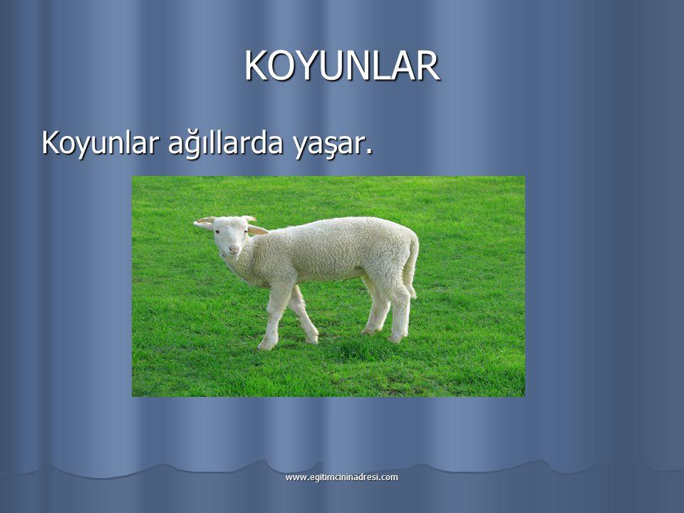 KOYUNLAR Koyunlar ağıllarda yaşar. www.egitimcininadresi.com