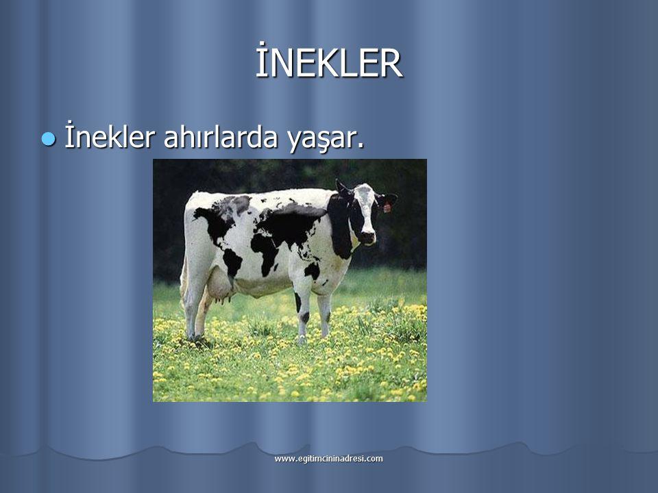 İNEKLER İnekler ahırlarda yaşar. www.egitimcininadresi.com