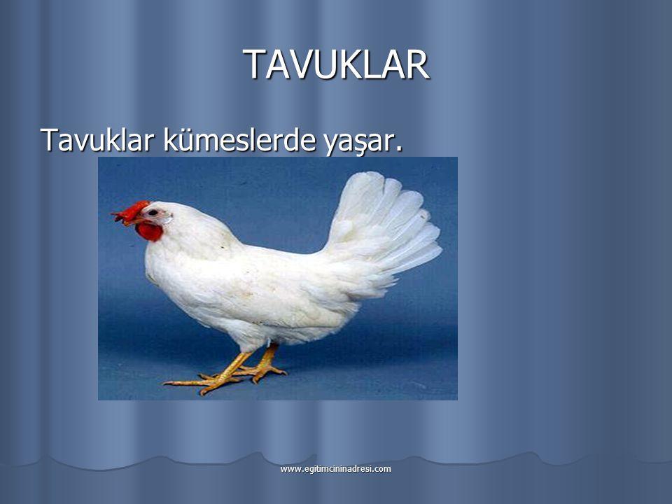 TAVUKLAR Tavuklar kümeslerde yaşar. www.egitimcininadresi.com