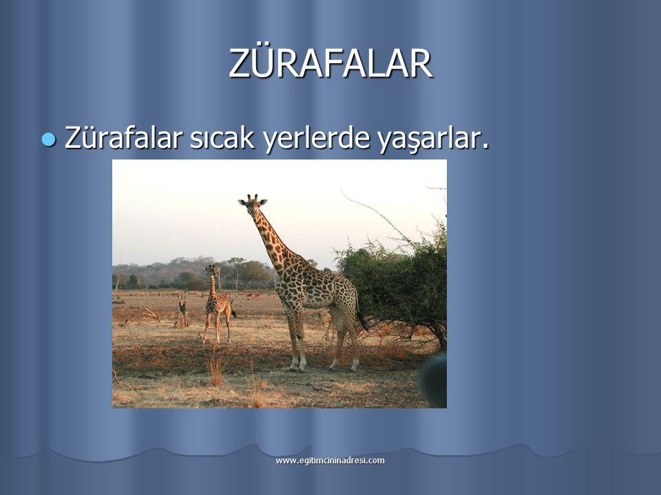 ZÜRAFALAR Zürafalar sıcak yerlerde yaşarlar. www.egitimcininadresi.com