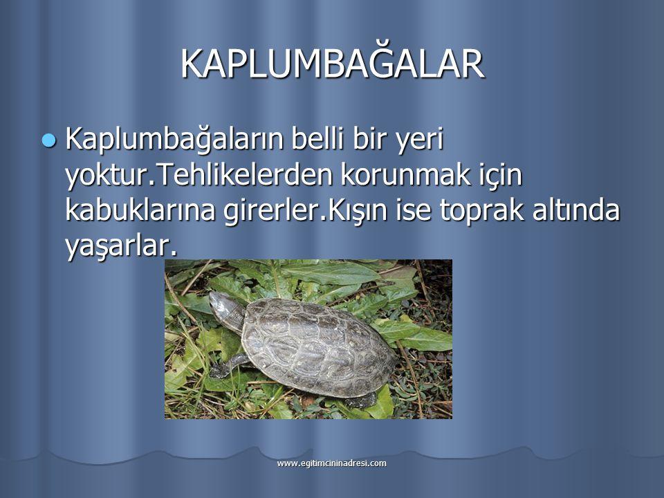 KAPLUMBAĞALAR Kaplumbağaların belli bir yeri yoktur.Tehlikelerden korunmak için kabuklarına girerler.Kışın ise toprak altında yaşarlar.