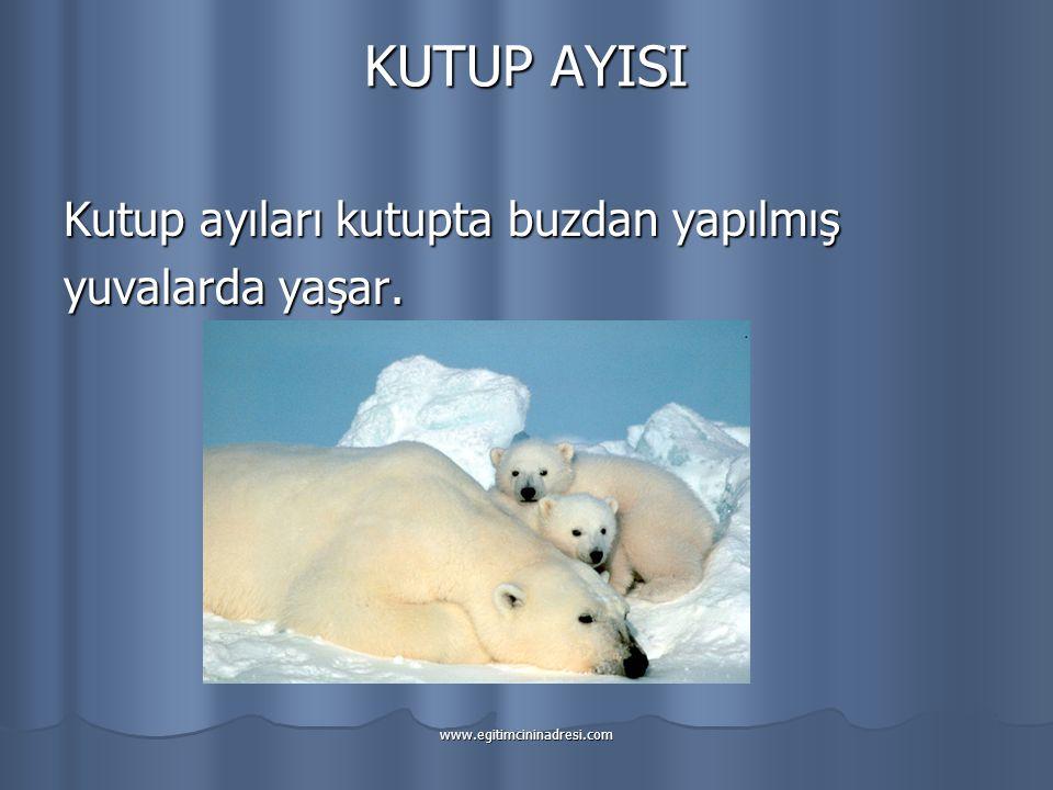 KUTUP AYISI Kutup ayıları kutupta buzdan yapılmış yuvalarda yaşar.