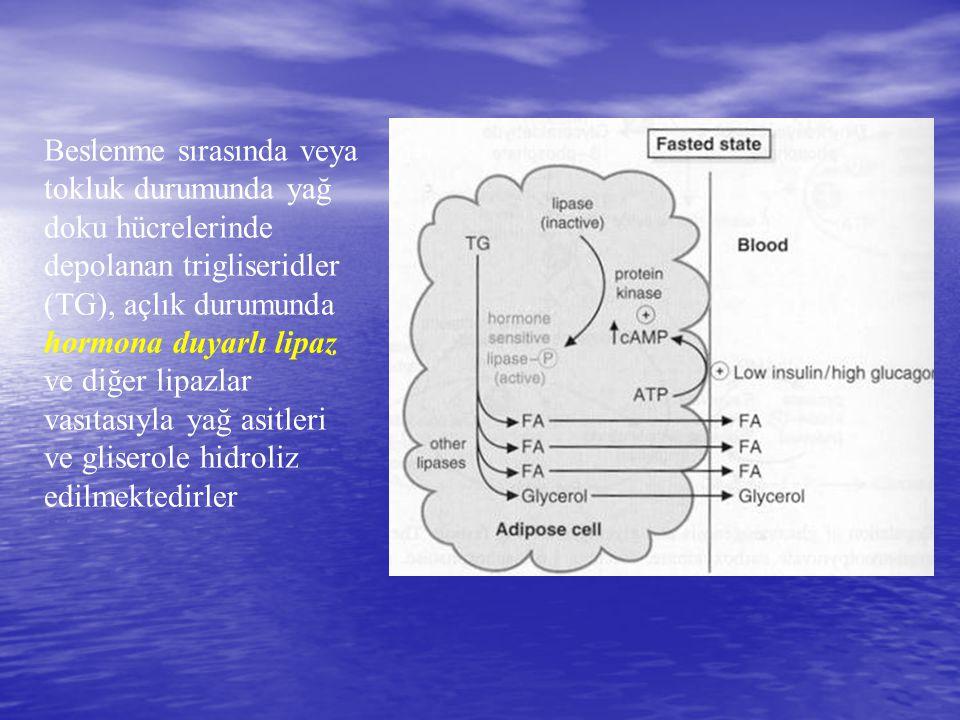 Beslenme sırasında veya tokluk durumunda yağ doku hücrelerinde depolanan trigliseridler (TG), açlık durumunda hormona duyarlı lipaz ve diğer lipazlar vasıtasıyla yağ asitleri ve gliserole hidroliz edilmektedirler