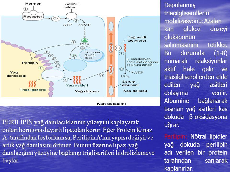 Depolanmış triaçilgliserollerin mobilizasyonu:Azalan kan glukoz düzeyi glukagonun salınmasınını tetikler. Bu durumda (1-8) numaralı reaksiyonlar aktif hale gelir ve triasilgliserollerden elde edilen yağ asitleri dolaşıma verilir. Albumine bağlanarak taşınan yağ asitleri kas dokuda β-oksidasyona uğrar.