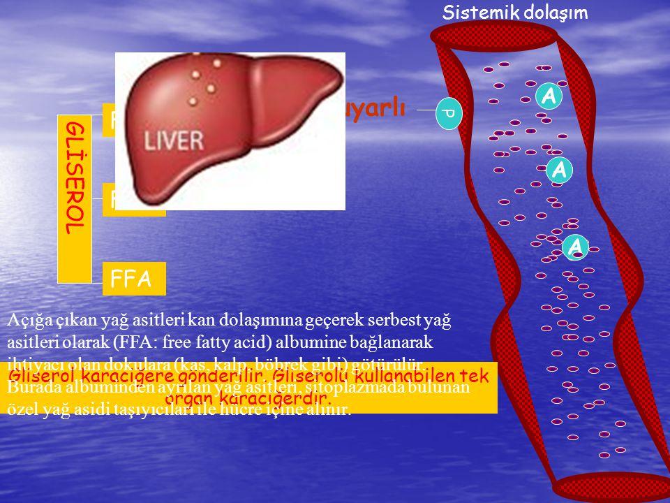 Hormon duyarlı lipaz FA FA FA A FFA GLİSEROL A FFA A FFA