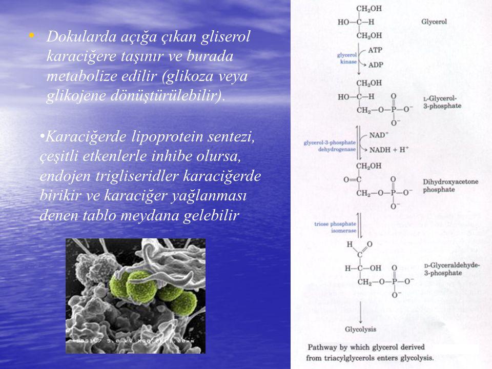 Dokularda açığa çıkan gliserol karaciğere taşınır ve burada metabolize edilir (glikoza veya glikojene dönüştürülebilir).