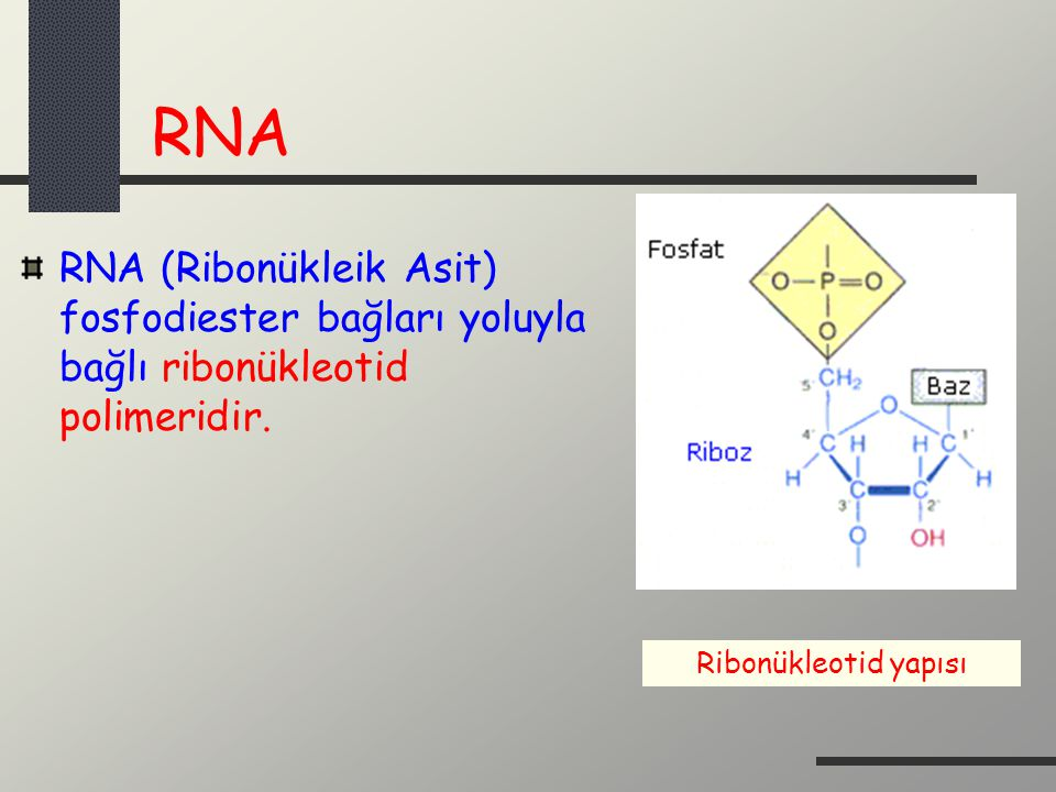 RNA RNA (Ribonükleik Asit) fosfodiester bağları yoluyla bağlı ribonükleotid polimeridir.
