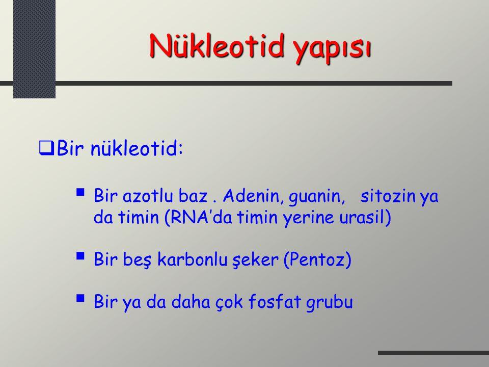 Nükleotid yapısı Bir nükleotid: