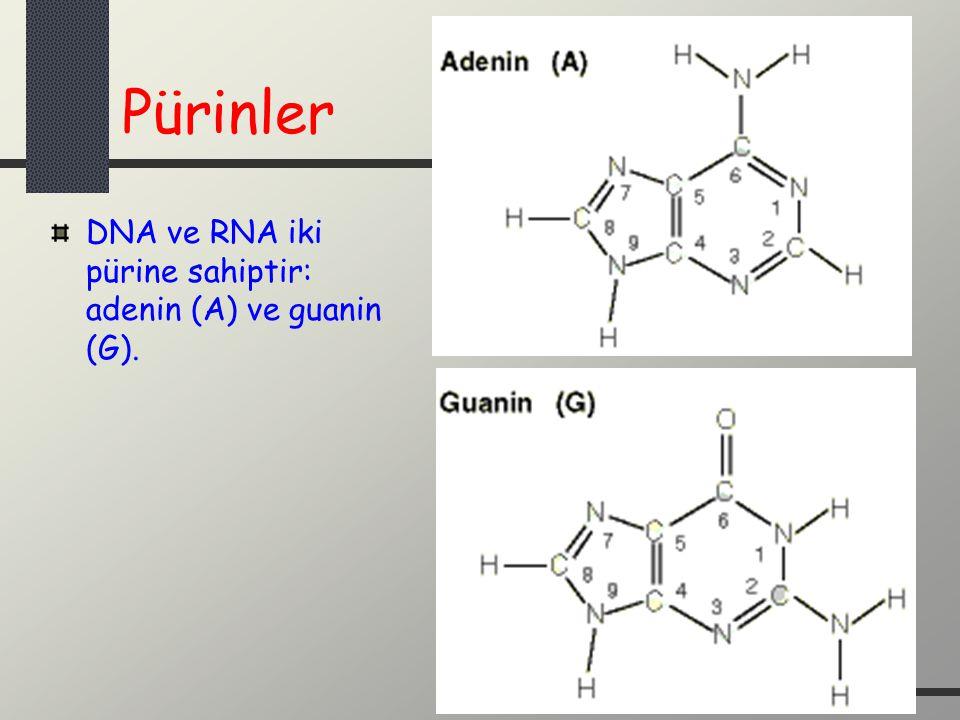 Pürinler DNA ve RNA iki pürine sahiptir: adenin (A) ve guanin (G).