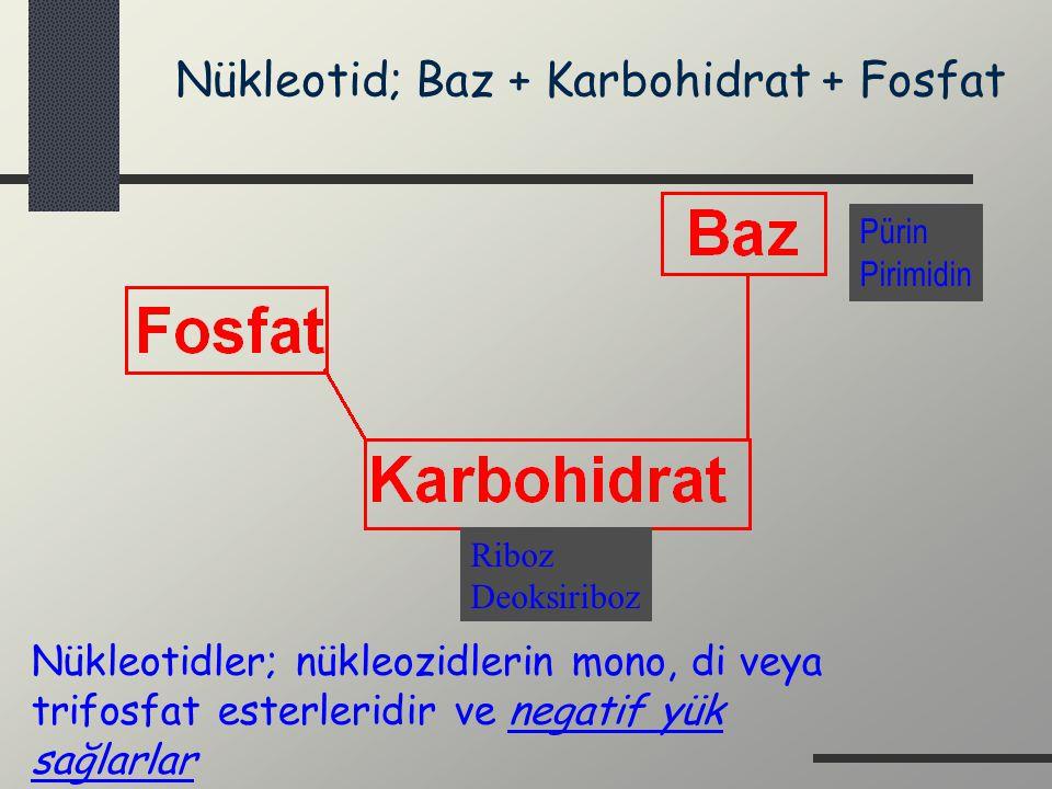 Nükleotid; Baz + Karbohidrat + Fosfat